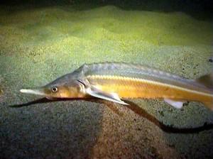 Костные рыбы Рязанской области