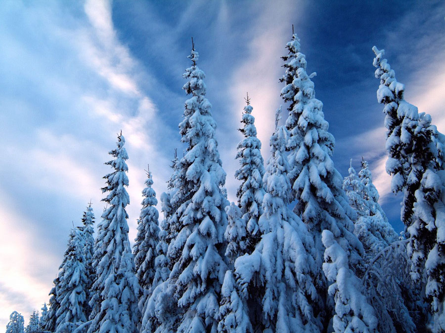 Хвойный лес зимой картинки