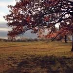 Красные листья дуба