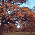 Дубки осенью