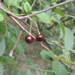 Растущая вишня